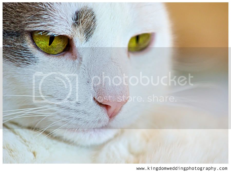 Vermont Wedding Photographer, portrait of a white cat